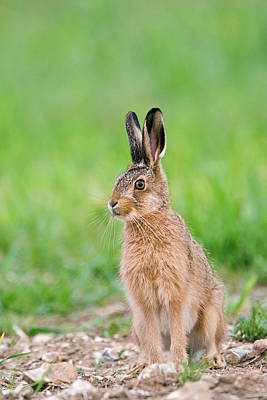 European Hare Wall Art - Photograph - Young European Hare by John Devries/science Photo Library