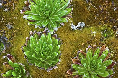 Lobelia Photograph - Young Giant Lobelia (lobelia Wollastonii by Martin Zwick