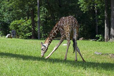 Framed Art Digital Art - Young Giraffe Eating Grass by Chris Flees