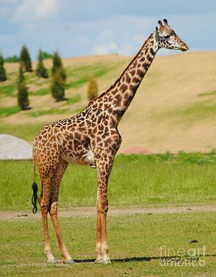 Photograph - Young  Giraffe by Susan Stevens Crosby
