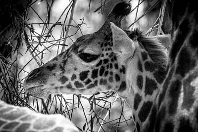 Photograph - Young Giraffe by TL  Mair