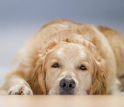 Golden Retriever Photograph - Young Golden Retriever Lying Down. Male by Animal Images