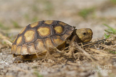 Photograph - Young Gopher Tortoise by Paul Rebmann