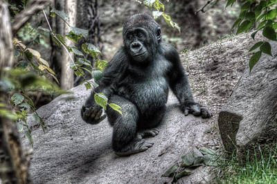 Digital Art - Young Gorilla by Patrick Groleau