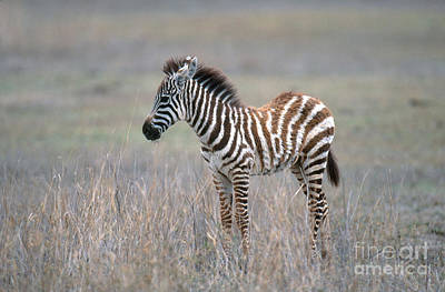 Zebra Photograph - Young Grants Zebra by Art Wolfe