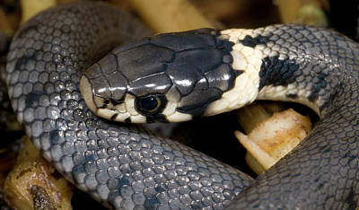 Reptiles Photograph - Young Grass Snake by Nigel Downer