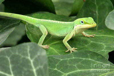 Photograph - Young Green Anole Lizard by Frank Townsley