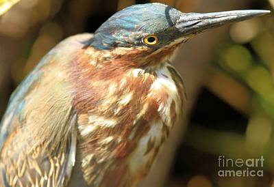 Photograph - Young Green Heron by Adam Jewell