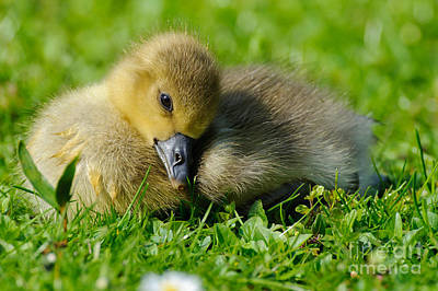 Photograph - Young Greylag Goose by Willi Rolfes