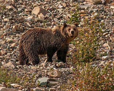 Brenda Brown Art Photograph - Young Grizzly Bear In Glacier National Park by Brenda Jacobs