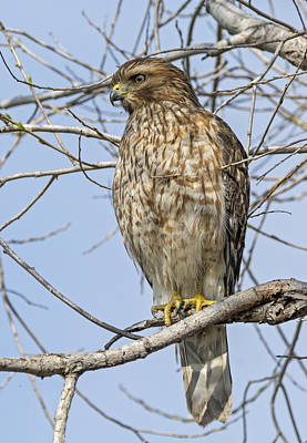 Buteo Lineatus Photograph - Young Hawk by Loree Johnson