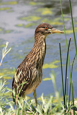 Photograph - Young Heron by Shane Bechler