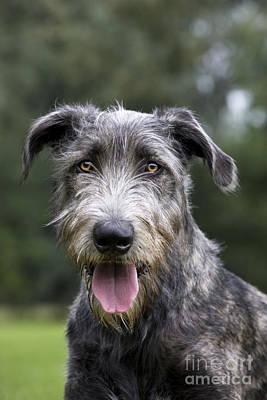 Irish Wolfhound Photograph - Young Irish Wolfhound by Johan De Meester