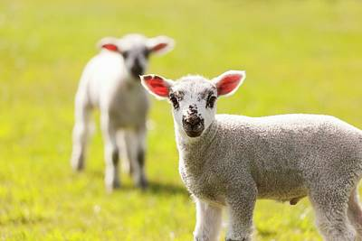 Breeding Season Photograph - Young Lambs In Spring by Jeremy Walker