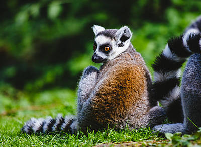 Lemur Catta Photograph - Young Lemur by Pati Photography