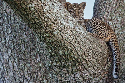 Leopard Wall Art - Photograph - Young Leopard by Alessandro Catta