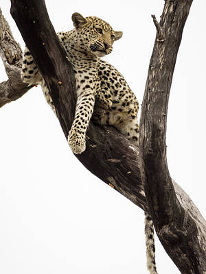 Young Leopard Panthera Pardus In Tree Print by Panoramic Images