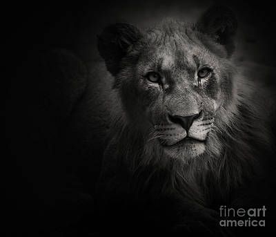 Photograph - Young Lion by Christine Sponchia