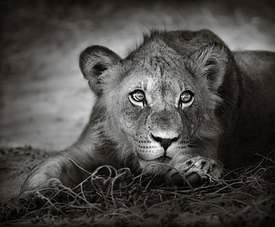 Animals Royalty-Free and Rights-Managed Images - Young lion portrait by Johan Swanepoel