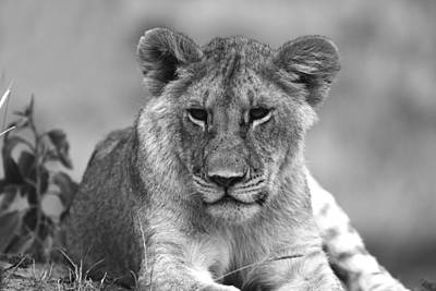 Whimsically Poetic Photographs Rights Managed Images - Young Lioness Royalty-Free Image by Aidan Moran
