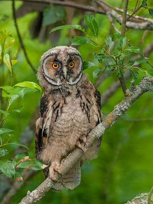 Young Long-eared Owl Art Print by Janne Mankinen