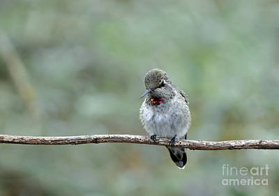 Photograph - Young Male Anna's Hummingbird by Laura Mountainspring