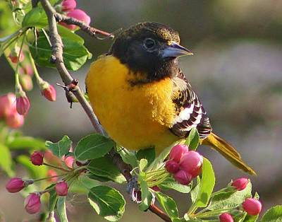 Photograph - Young Male Oriole by Bruce Bley