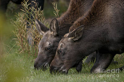 Young Moose Art Print by Earl Nelson