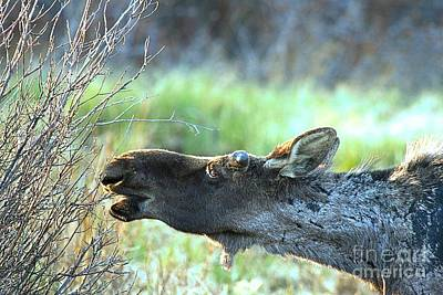 Photograph - Young Moose Munch by Adam Jewell