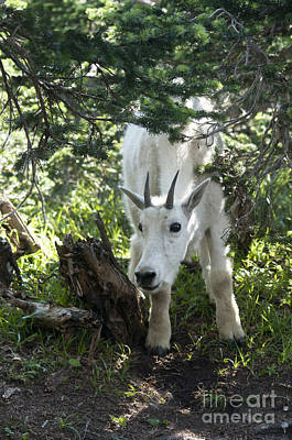 Photograph - Young Mountain Goat by Cindy Murphy - NightVisions