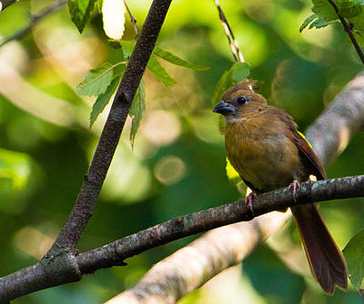Rare Bird Sighting Photograph - Fledgling Northern Cardinal 1 by Christy Cox