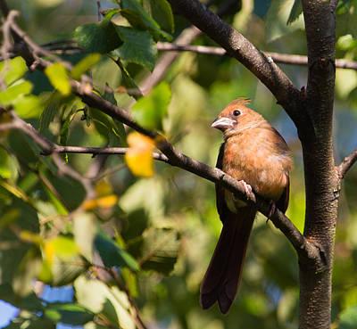 Rare Bird Sighting Photograph - Fledgling Northern Cardinal 3 by Christy Cox