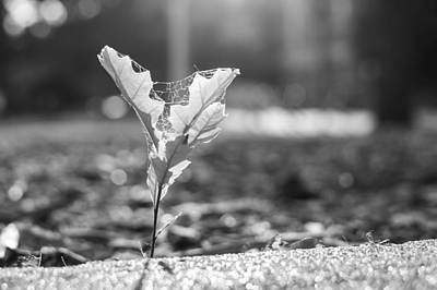 Black And White Photograph - Young Oak Out Of Sidewalk by Nathan Hillis