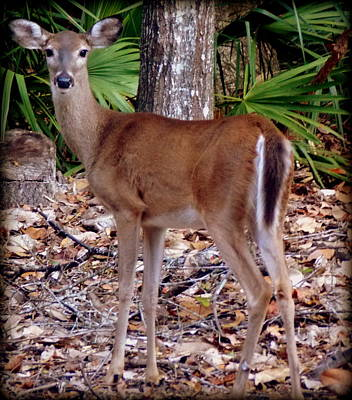 Photograph - Young October Doe by Sheri McLeroy