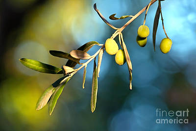 Young Olive On A Branch Art Print by Leyla Ismet
