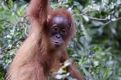 Young Orangutan Kiss Art Print