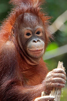 Photograph - Young Orangutan by Sohns Okapia