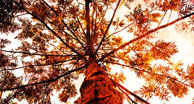 Photograph - Young Pine by J- J- Espinoza