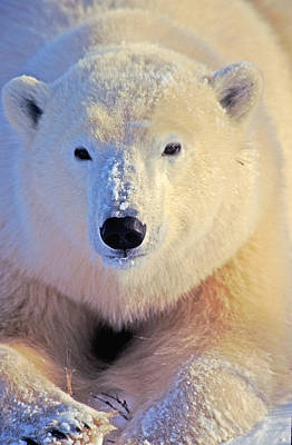 Photograph - Young Polar Bear by Randy Green