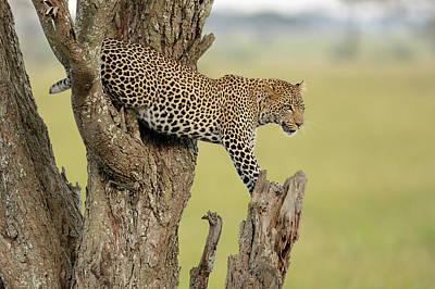 Leopard Wall Art - Photograph - Young Prince by Marco Pozzi