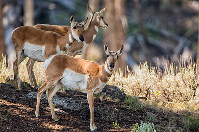 Photograph - Young Pronghorn At Yellowstone by Andres Leon