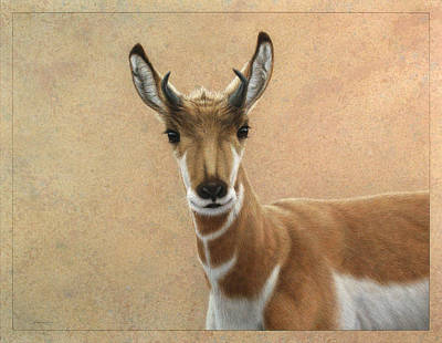 Sheep Drawing - Young Pronghorn by James W Johnson