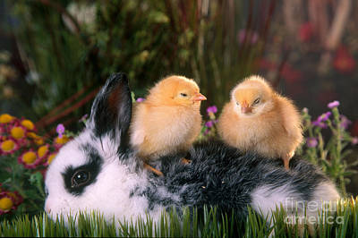 Photograph - Young Rabbit With Baby Chicks by Alan and Sandy Carey