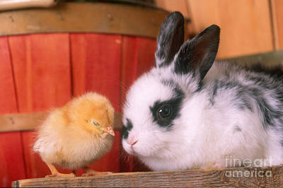 Photograph - Young Rabbit Wth Baby Chicken by Alan and Sandy Carey