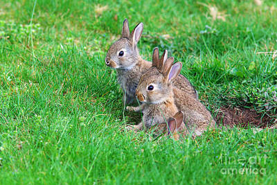 Art Print featuring the photograph Young Rabbits by Nick  Biemans