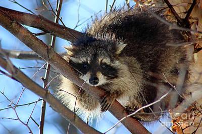 Photograph - Young Raccoon In Birch Tree by Karen Adams
