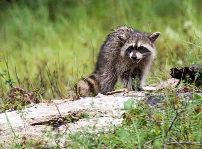 Photograph - Young Raccoon by Linda Shannon Morgan