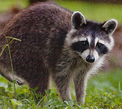 Photograph - Young Raccoon by Melinda Fawver