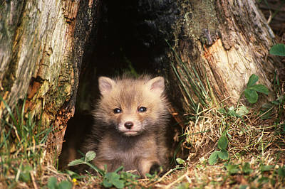 Photograph - Young Red Fox Pup Vulpes Vulpes by Thomas And Pat Leeson