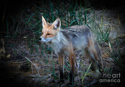 Young Red Fox Print by Robert Bales